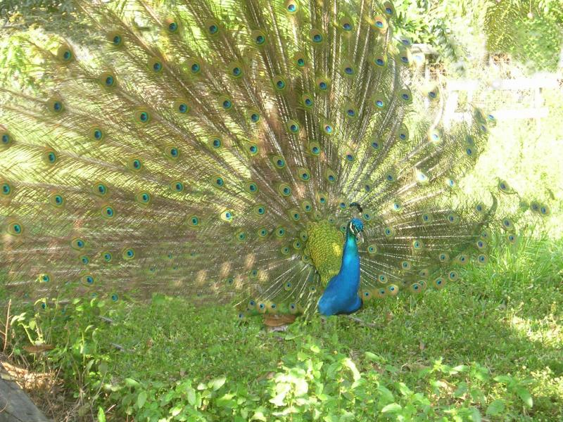 Peacock at Berta's Farm